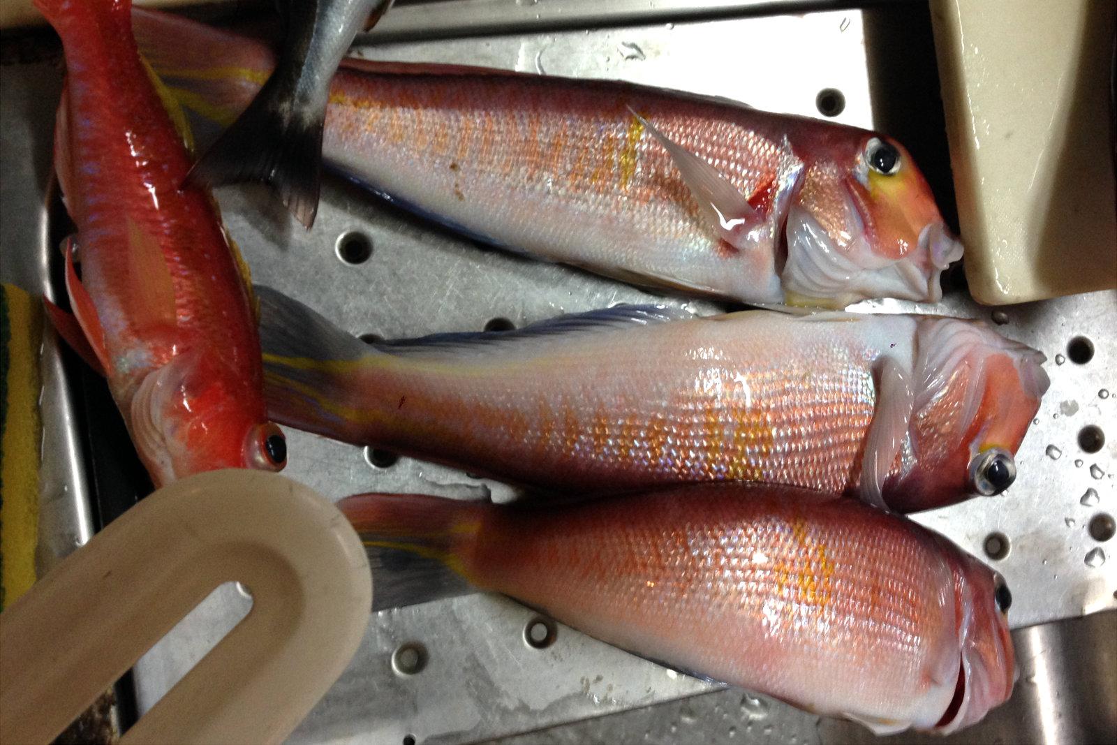秋田屋で釣れたアマダイ・ヒメコダイの一部
